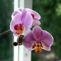 Az orchidea gondozása